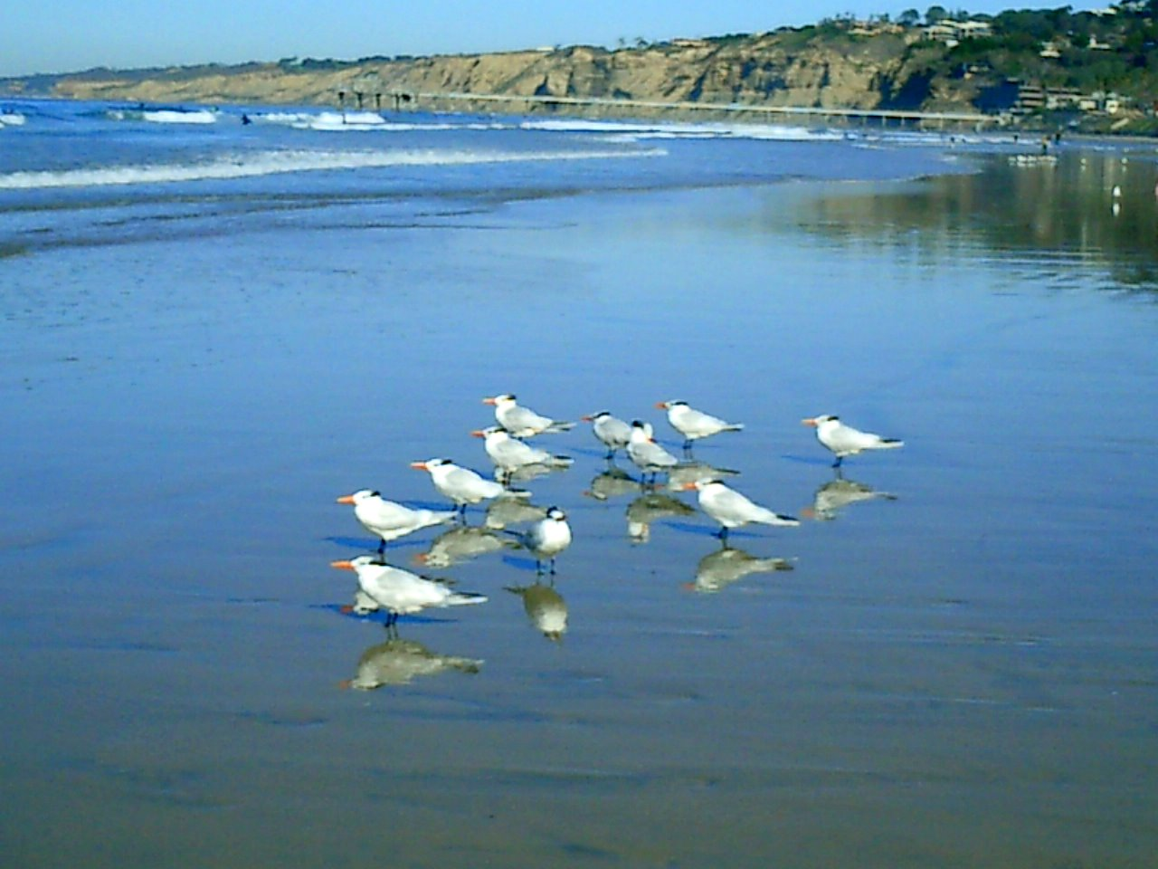 Royal terns on the beach