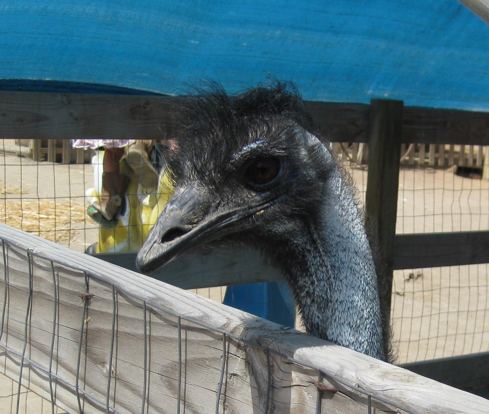 A hungry Ostrich